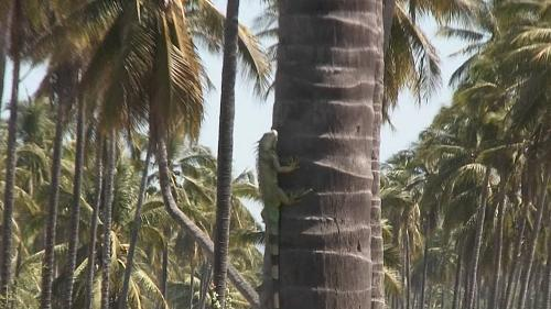 Iguana scurries up a palm on the road to Tenacatita